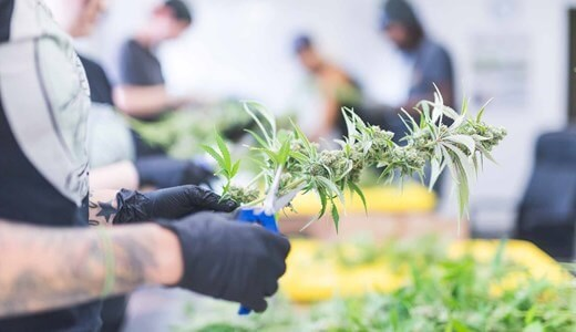 industria del cannabis